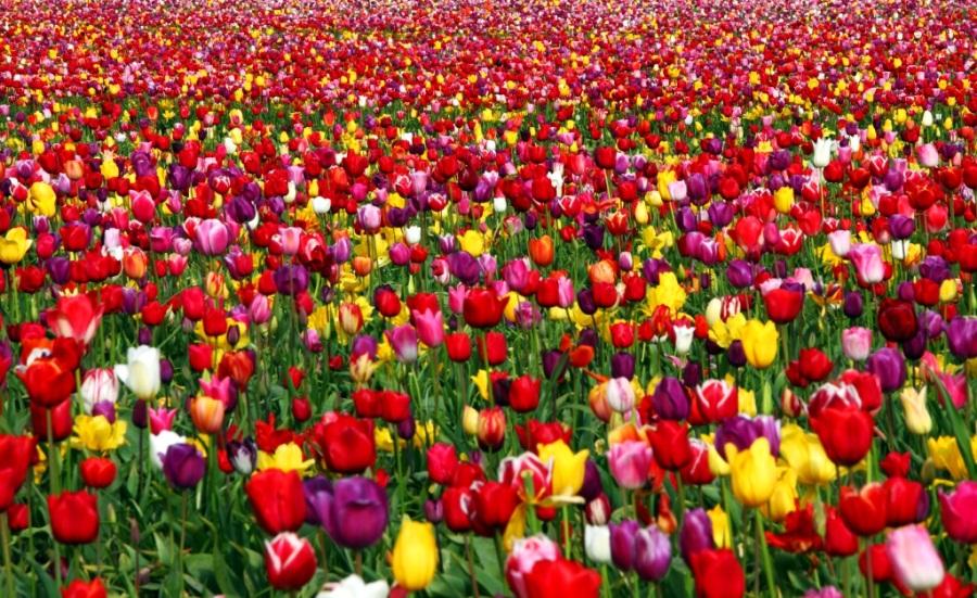 Tulip_Festival_2010_26